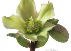 Helleborus cl-up gefotografeerd door Joop Gijsbers Bloemen en Planten Fotograaf