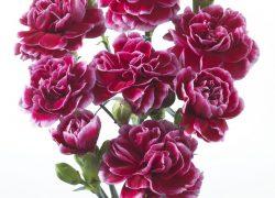 Spray Carnation of Trosanjer gefotografeerd door Joop Gijsbers Bloemen en Planten Fotograaf